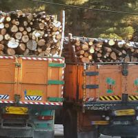 فروش چوب گز