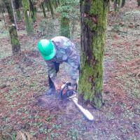 چوب کاج  سوزنی برگ قطر بالای ۳۰سانت