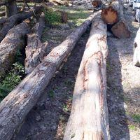 خرید چوب درخت صنوبر و جنگلی سرپا یا ایستاده