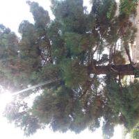 چوب درخت سرو25 متری حدوده 2تن
