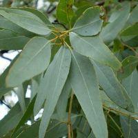 فروش برگ درخت آکلیپتوس