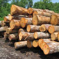 خریدار چوب ،چوب چنار ،چوب کاج
